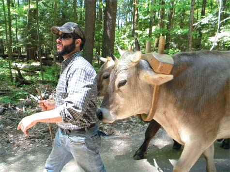 Walking with Oxen